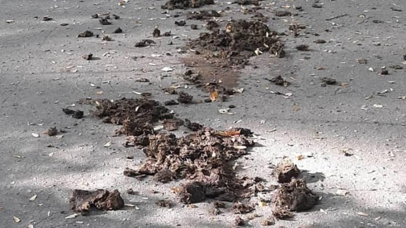 В парке Ататюрка выгуливают лошадей, которые загрязняют аллеи