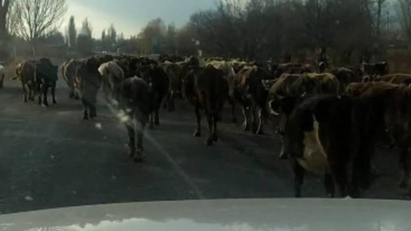 Перегон скота через скоростную трассу создает аварийные ситуации, - жители Иссык-Кульского района