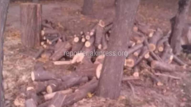 На заказнике города Токмок спиливают деревья. Законно ли?
