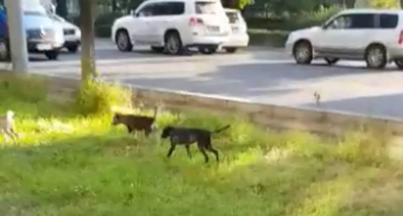 Бишкекчанин интересуется, почему в городе много бездомных собак? (видео)
