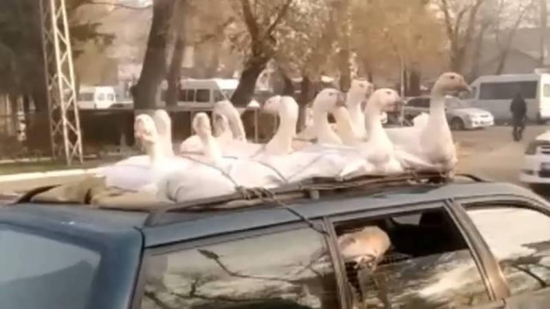 Видео — В Жалал-Абаде 12 гусей перевозят на крыше автомобиля