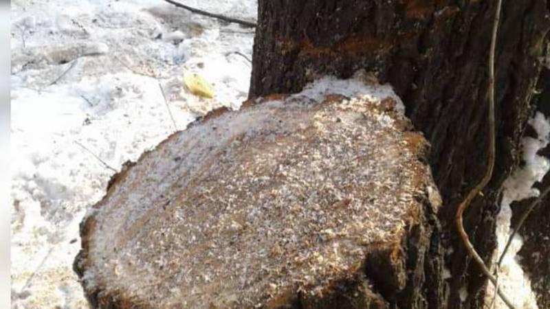 Бишкекчанин интересуется, почему пилят здоровые деревья на Московской-Ибраимова? (фото, видео)