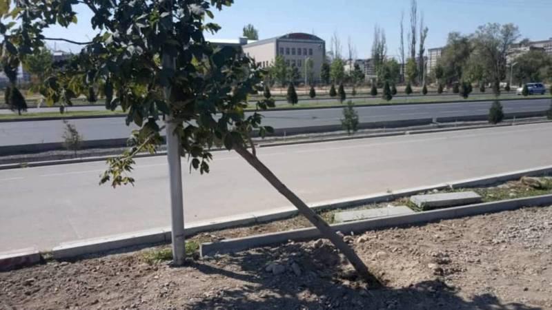 На Южной магистрали повалили каштан, который покупали за 10 тыс. сомов, - очевидец