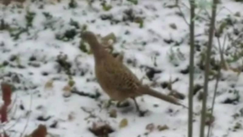 На ул.Кольбаева была замечена самка фазана. Видео горожанина