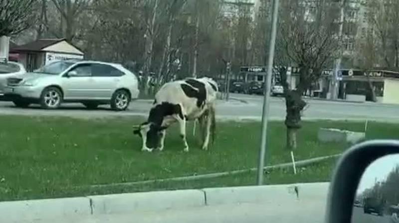 На газоне на Южной магистрали пасется корова. Видео
