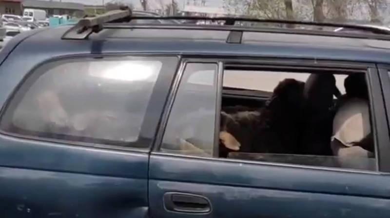 На заднем сидении машины везут баранов. Видео