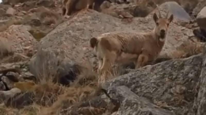 Бишкекчанин снял на видео горных козлов возле Хижины Рацека
