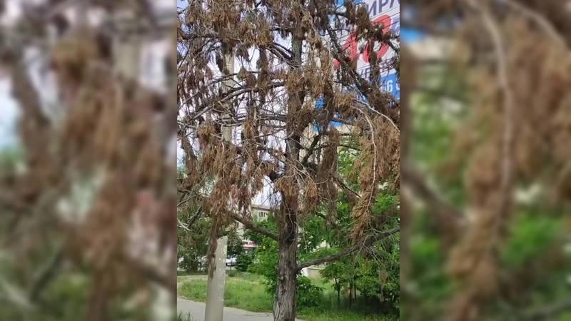 Горожанка жалуется на засыхающие деревья по улице Юнусалиева