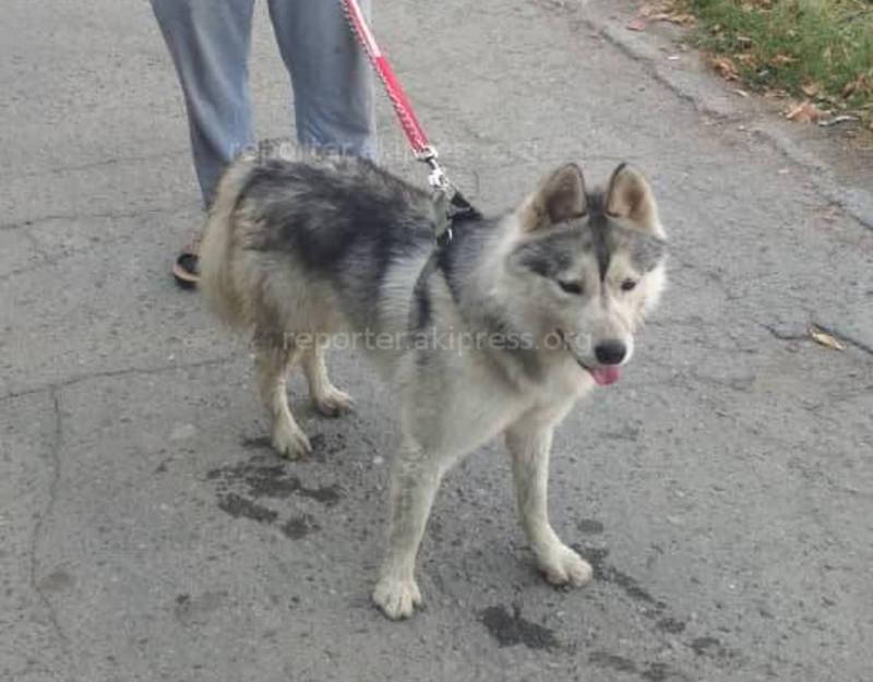 Работник «Тазалыка» ищет хозяйку собаки, похожую на хаски, потерявшуюся в Дубовом парке (фото)