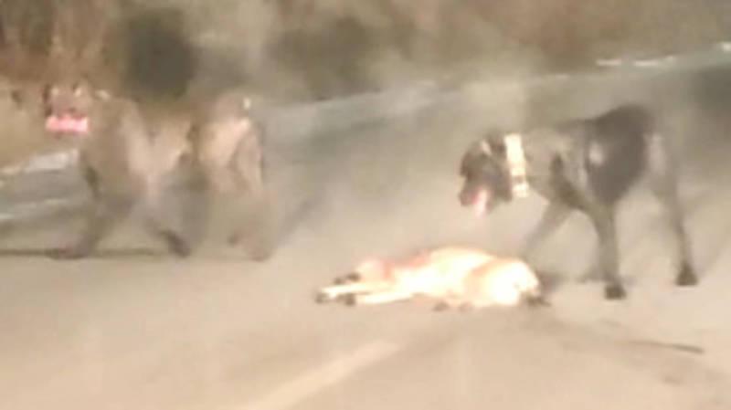 В селе Орто-Сай две бойцовские собаки загрызли дворнягу (осторожно, видео)