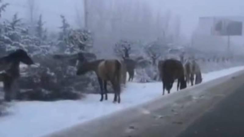 На газоне Южной магистрали вновь пасутся лошади. Видео