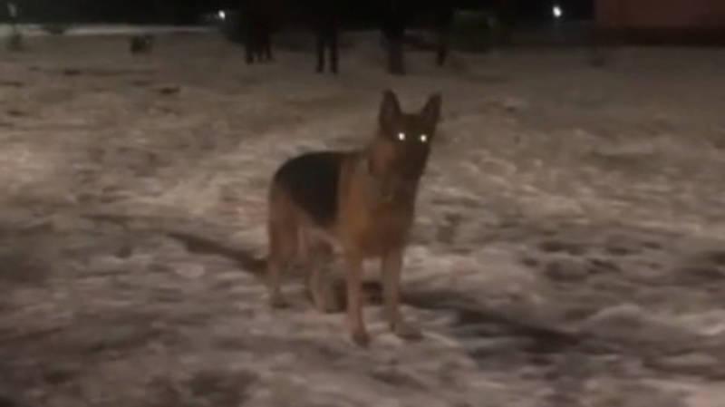 В 5 мкр без намордника и поводка разгуливает большая собака. Видео горожанки