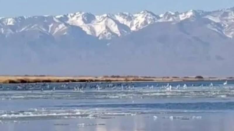 На Иссык-Куль прилетели лебеди и журавли. Видео