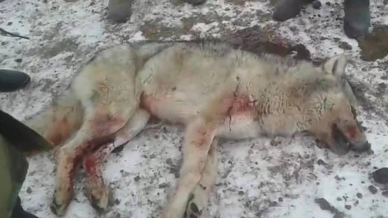 В селе Кара-Кужур местные житель застрелили волка. Видео