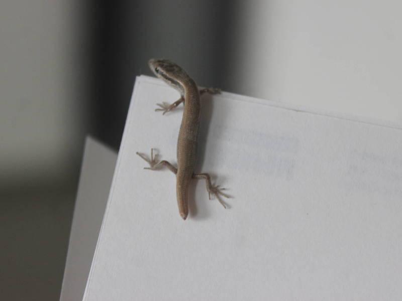 В офисе АКИpress водится маленькая ящерица