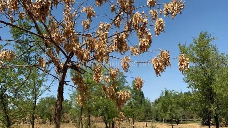 «Словно осень в разгар лета». Бишкекчанин жалуется на засуху в парке «Южные ворота»