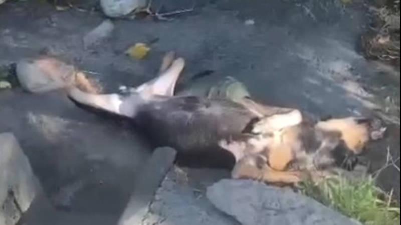 На парковке в парке «Ынтымак-2» лежит труп собаки, - горожанин (видео)