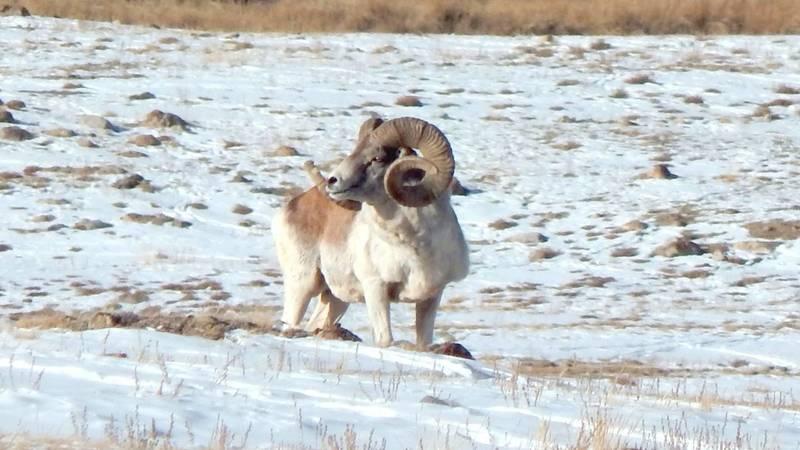 Бишкекчанин сфотографировал архара