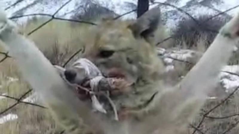 Распятый волчонок: Издевательство над хищником сняли на видео