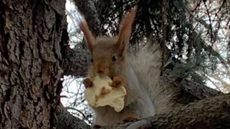 Белка на дереве ест корочку хлеба. Фото горожанина
