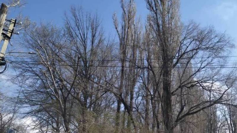 На ул.Профессора Зимы деревья могут упасть на дорогу. Видео горожанина