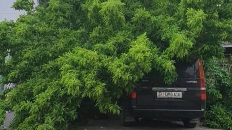 В Кызыл-Аскере на «Степвагон» упало дерево. Фото