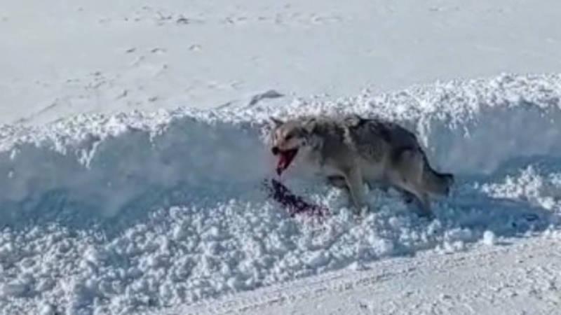 В Суусамыре водитель сбил волка. Видео