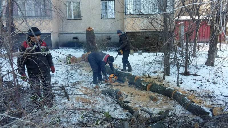Житель: В 1 мкр в Токмоке вырубают здоровые деревья. Законно ли? (фото)