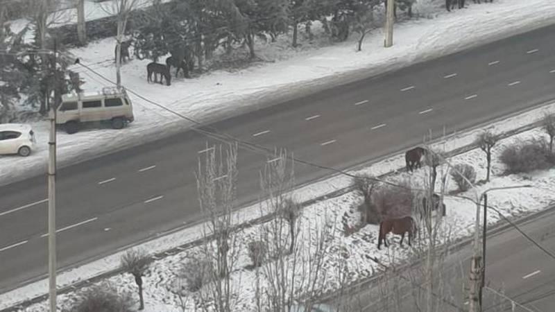 В Асанбае на Южной магистрали пасутся лошади, - горожанин
