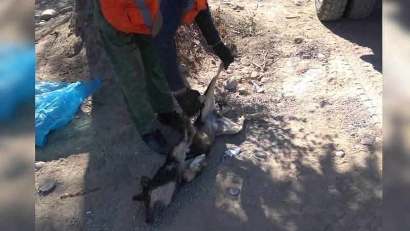 «Тазалык» убрал труп собаки в парке «Ынтымак-2» после жалобы горожанина