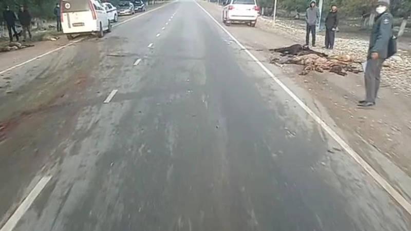 В Таласской области машина сбила стадо овец. Видео с места ДТП