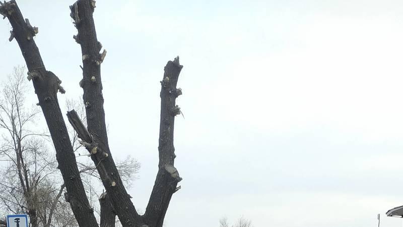 Зачем на Жукеева-Пудовкина обрезали кроны деревьев? Фото горожанина Александра