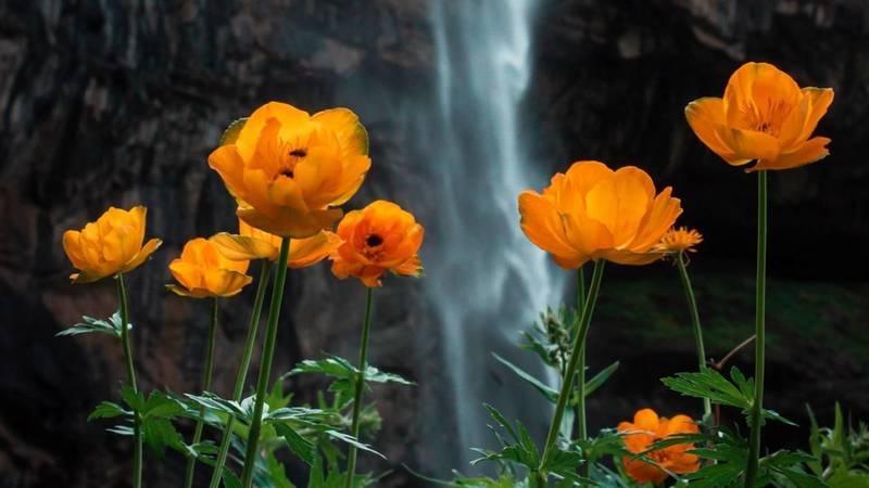 Лютики на фоне водопада Белогорка. Фото