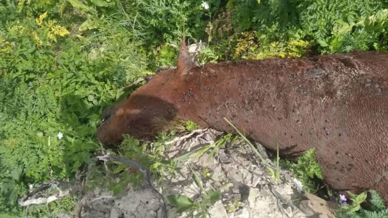 В Узгенском районе лошадь разрубили пополам. Видео и фото