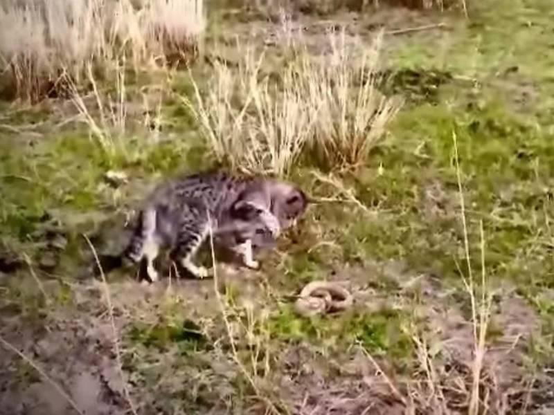 Схватка кошки со змеей — видео из Нарына