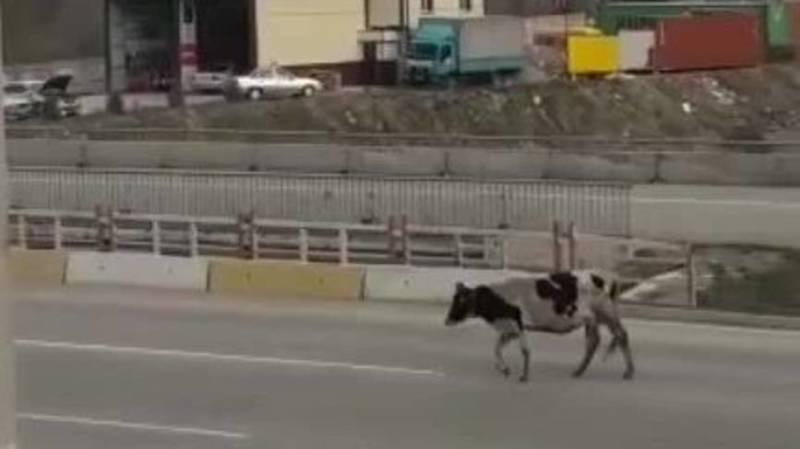 На Южной магистрали бродит корова. Видео