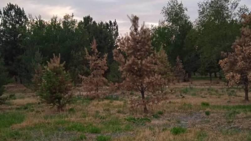 Парк имени Ататюрка засыхает, - бишкекчанин (фото)