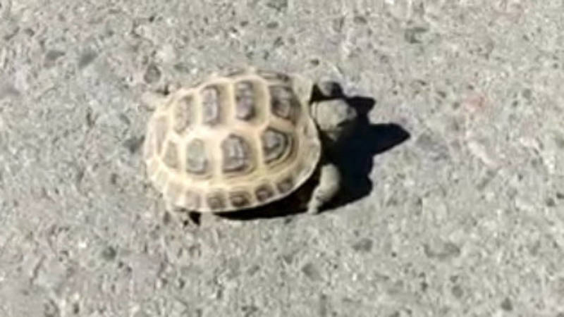 Бишкекчанин нашел на дороге черепаху. Видео