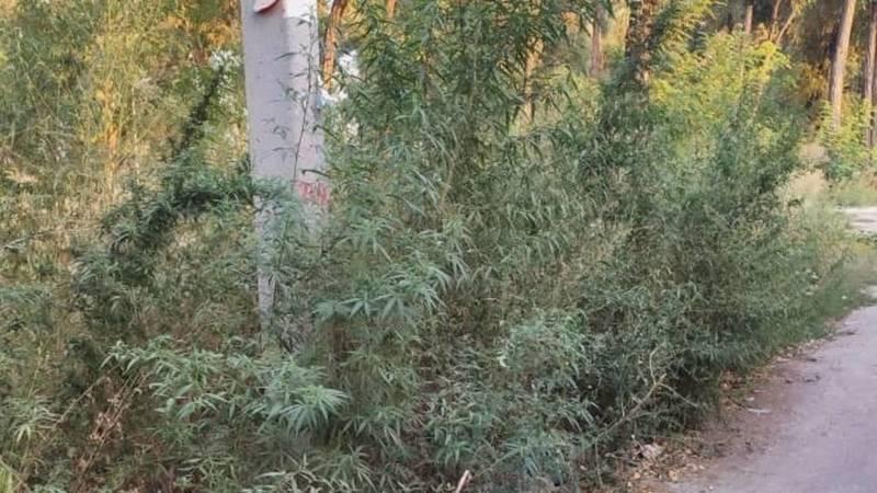 Возле парка по Манаса растут огромные кусты конопли. Фото