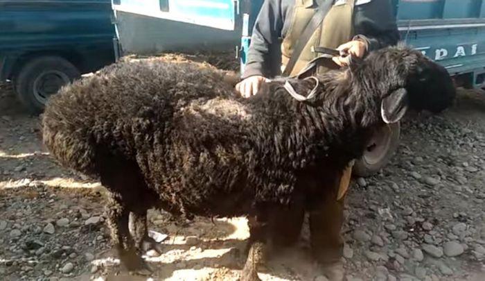Кочкор на скотном рынке в Оше